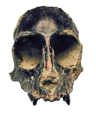 The skull of Killikaike blakei, a newly identified prehistoric monkey