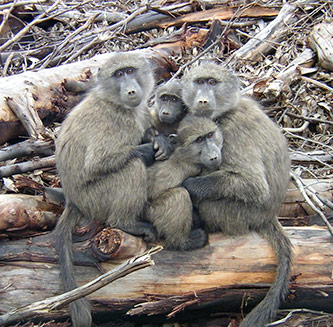 Chacma baboons in South Africa