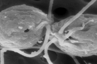 <p>Two fusion-defective mutants adhering via their mating structures.</p>