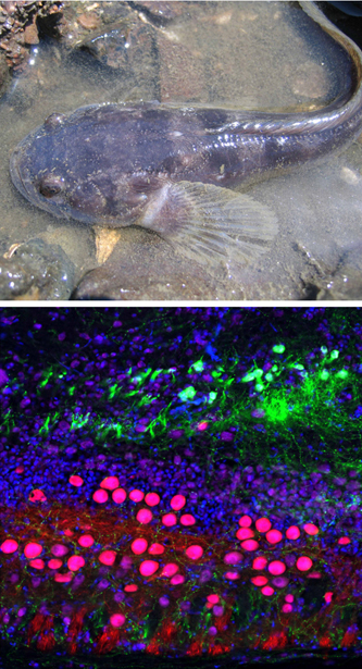 <p>Top: A nesting midshipman male in the intertidal zone in Tomales Bay, CA. Bottom: Multi-label fluorescence micrograph showing catecholaminergic neurons (green) just dorsal to vocal motor neurons (pink) in the hindbrain-spinal cord.</p>