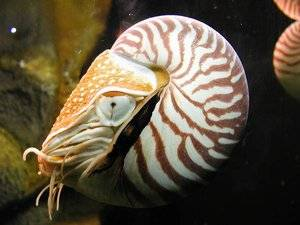 <p>The living fossil, <em>Nautilus pompilius</em> (Chambered Nautilus), is the only externally shelled cephalopod mollusk.</p>
