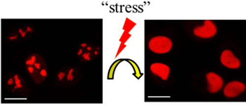 <p>Nucleolin exits from nucleoli during cellular response to stress, controlling gene expression. Scale bar represents 10 &micro;m.</p>