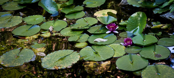 Water lilies, turtles, and goldfish all call our lily pond home.