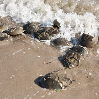 Horseshoe crabs emerge from Jamaica Bay.