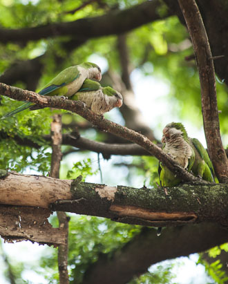 Monk parakeets have found a home on campus.