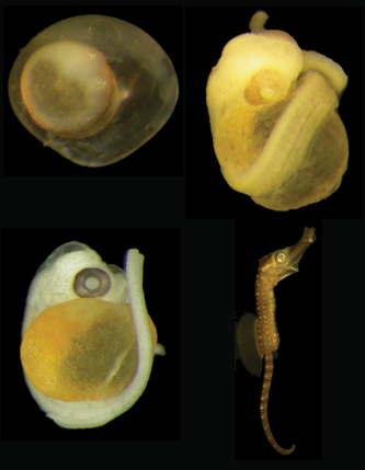 <p>The embryonic stages of a seahorse.</p>