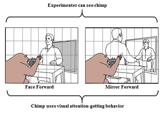 Two diagrams, Experimenter can see chimp. Left: face forward; Right: mirror forward. Chimp uses visual attention-getting behavior.